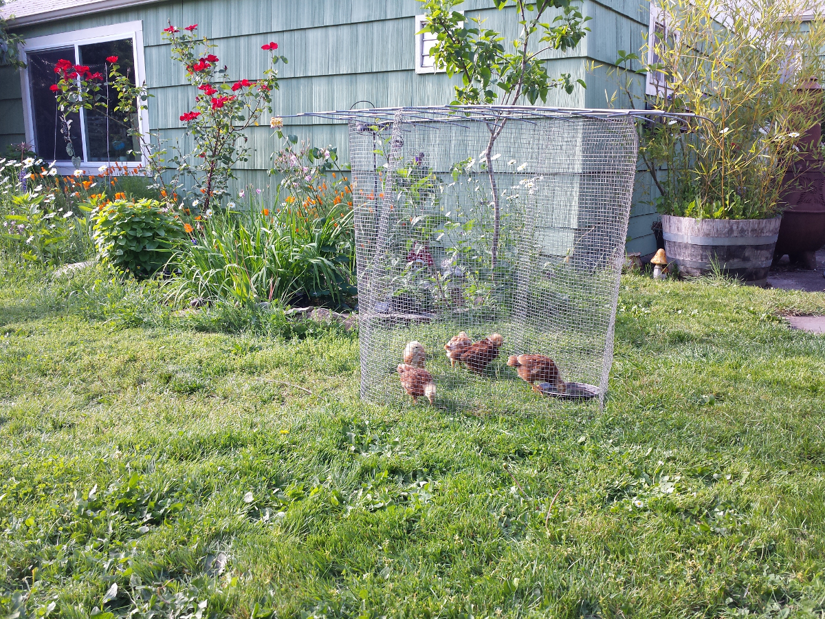Fun With Backyard Chickens