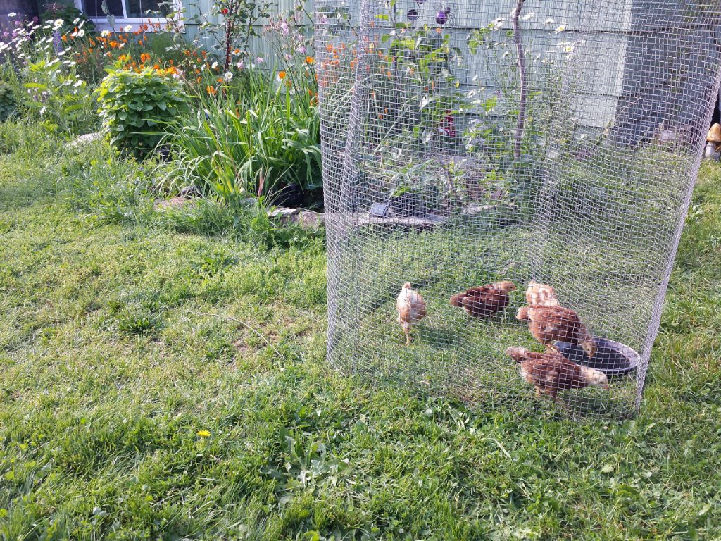 backyard chickens wellinformedliving.com